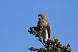 `Io (Hawaiian Hawk)