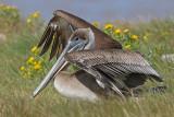 Tropicbirds, boobies, pelicans, cormorants, anhinga & frigatebirds