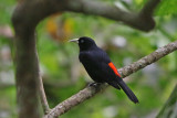 Blackbirds, Orioles, and Oropendolas