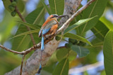 Motmots and Kingfishers