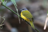 Tanagers of Costa Rica and Panama