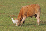 Cattle Egret with friend