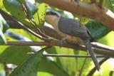 Cuckoos, Roadrunners and Anis