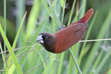Black-headed Munia