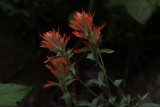Common Paintbrush