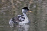 Clark's Grebe with three young