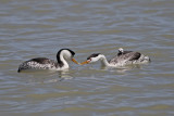 Clark's Grebes preparing to feed young