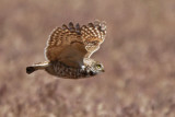 Burrowing Owl (Utah)