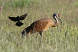 Sandhill Crane with Brewer's Blackbird