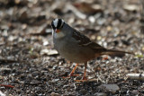 White-crowned Sparrow with white throat