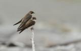 Hirondelles de Rivage - Bank Swallows