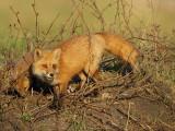 red fox @ ( pup )  --  renard roux et ( renardeau )