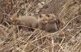 red fox ( pups )  --  renard roux ( renardeau )