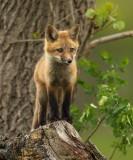 red fox ( pup )  --  renard roux ( renardeau )