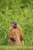 groundhog  --  siffleux ou marmotte