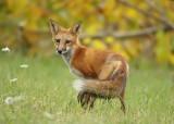 red fox ( pup 5 months )  --  renard roux ( renardeau 5 mois )