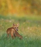 red fox ( pup 6 months )  --  renard roux ( renardeau 6 mois )