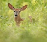 White-Tail Deer ( FAWN )  --  Cerf de Virginie ( FAON )