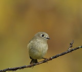 Ruby-Crowned KingLet  --  Roitelet Couronne Rubis