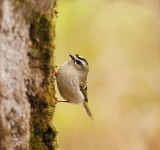 Golden-Crowned KingLet  --  Roitelet a Couronne Doree