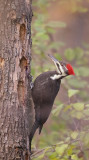 Pileated WoodPecker  --  Grand Pic