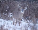 White Tail Deer  --  Cerf de Virginie