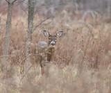 White-Tail Deer  --  Cerf de Virginie