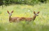WhiteTail Deer ( 2 fawns )  --  Cerf de Virginie ( 2 faons )