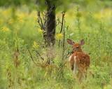 WhiteTail Deer ( fawn )  --  Cerf de Virginie ( faon )