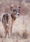 WhiteTail Deer  --  Cerf DE Virginie