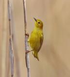 Yellow Warbler  --  Paruline Jaune