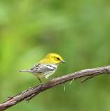 Black - Throated Green Warbler  --  Paruline A Gorge Noire