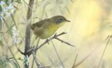 Common YellowThroat  --  Paruline Masquee