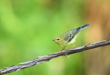 Blue - Winged Warbler  --  Paruline A Ailes Bleues