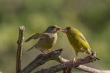Greenfinch Feeding