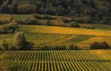 Vineyards in late October