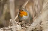 Male European Robin