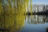 The Willows in Fresh Green