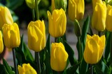 Tulip Lizanne
