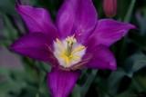 Purple Wide Open