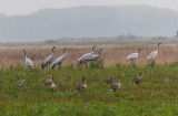 Cranes and Geese