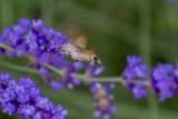 Hummingbird-Hawkmoth on Lavender