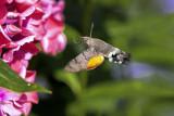 Hummingbird-Hawkmoth on Phlox