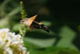 Hummingbird-Hawkmoth on Summer Lilac