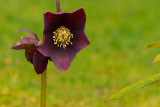 Purple Christmas Rose
