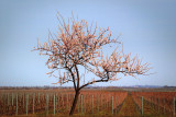 Almond Blossom Tree in the Vineyard