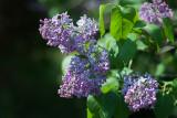 Fresh Lilac