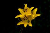 Wet Lilies