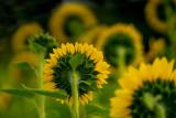 Sun Flower Power
