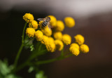 Hovering over Tansy